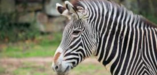 Você sabe porque a vitória do azarão nos esportes leva o nome de zebra?