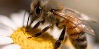 Como é o sexo entre abelhas?