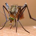 Por que os mosquitos insistem em zumbir nos nossos ouvidos?